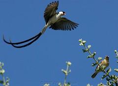 Courtship IV: Come To Me (Makgobokgobo) Tags: africa bird garden botswana pintailedwhydah viduamacroura vidua whydah