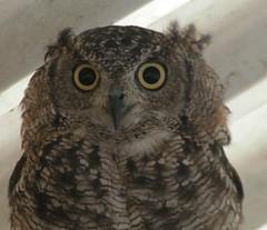 Owl (berryvantuijl) Tags: animals zoo 2007 dierentuin beesd dierenpark uil depaay mywinners diamondclassphotographer berryvantuijl