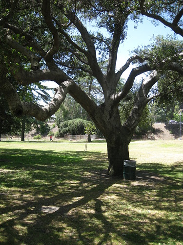 coast live oak tree trunk and branches