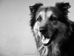 Tornado (2001-2010) (Anderson Alcntara) Tags: dog co animal pb cachorro joaopessoa paraba pastoralemo melhorangulo andersonalcantara
