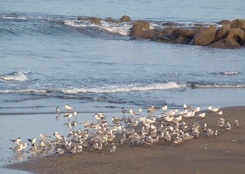 Golondrinas de mar (Sterna máxima)