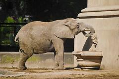 Zoo de BsAs (zeca rodrigues) Tags: elephant argentina zoo buenosaires dumbo palermo elefante orelhudo paquiderme