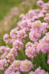 Pink Flowers (On the mountain at dawn) Tags: trip travel pink flowers vacation mountain holiday blur flower detail green nature field wales dawn stem nikon focus europe raw dof bokeh depth stalk d3000