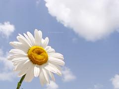 Daisy, daisy (VillaRhapsody) Tags: blue sky flower beautiful june turkey garden spring pretty daisy acg fethiye bigmomma kayaköy challengeyouwinner platinumheartaward jeannesmits jeannegünesoglu mygearandme villlarhapsody