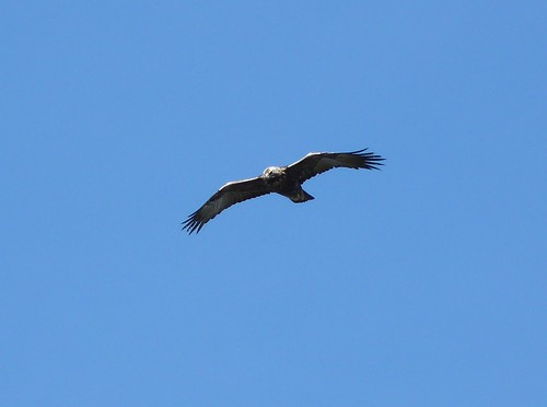 21744 - Golden Eagle on Mull