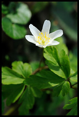Buschwindrschen (Anemone nemorosa) (.:matze:.) Tags: buschwindrschen anemone nemorosa windrschen plant pflanze blossom blte makro macro