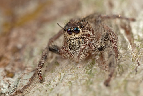 ... a beautiful Jumping Spider ...