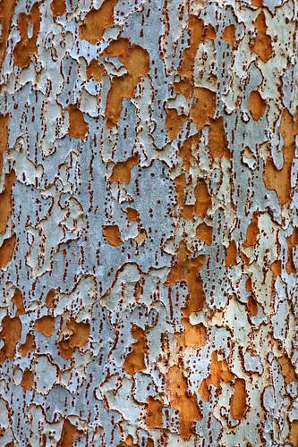 lacebark elm tree pictures. A Lacebark Elm tree,