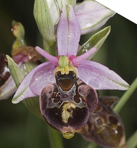 Ophrys scolopax? et errances taxinomiques - Page 2 5188135437_3340f63f41