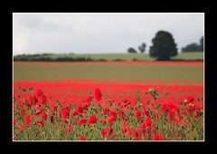 Poppies..17 June 2007 (strussler) Tags: red england field canon landscape eos sigma surrey poppies 5d clandon impressedbeauty flickrelite