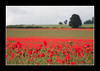 Poppies..17 June 2007 (strussler) Tags: red england field canon landscape eos sigma surrey poppies 5d clandon impressedbeauty flickrelite