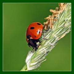 ladybug - by Marko_K