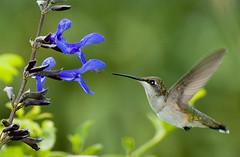 Hummer (Tri-X Pan) Tags: green nikon hummingbird d70 explore salvia mygarden naturesfinest blackandblue avianexcellence