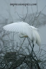 White Egret in Fog