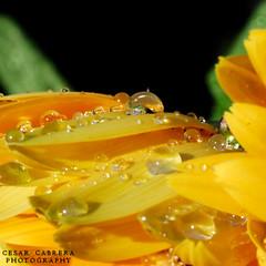 Featuring the Droplet (Cesar R.) Tags: flower macro nature water rain yellow d50 agua nikon bravo african flor drop nikond50 gerbera micro daisy droplet margarita gota naturesfinest abigfave superaplus aplusphoto