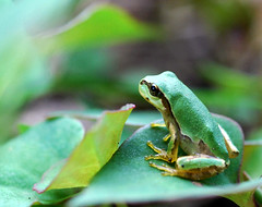 Baby Japanese tree frog - by autan