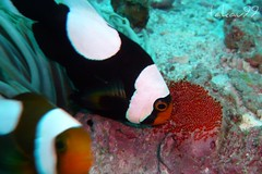 Saddleback Clownfish's Eggs, Thailand (_takau99) Tags: ocean trip travel sea vacation holiday fish macro uw nature water topv111 thailand lumix topv555 marine asia southeastasia underwater wildlife dive july scuba diving topv222 panasonic clownfish thai samui tropical scubadiving tao kohtao anemonefish kotao 2007 gulfofthailand damselfish fx30 greenrock amphiprion  takau99 pomacentridae polymnus amphiprionpolymnus dmcfx30 lumixfx30 saddlebackclownfish