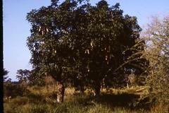 Leberwurstbaum (Kigelia africana) in der Savanne