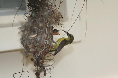 Sunbird feeding02