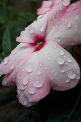 Tears for Fears (Tomitheos) Tags: pink toronto ontario canada flower macro nature wet rain rural petals drops flickr august daily explore dew pinkflower now waterdrops today globalwarming 2007 aphoto aclass stockphotography  impatients naturesfinest dreamjournal tearsforfears closermacro worldthroughmyeyes beautifulcapture  amazingshots jeannysfoto tomitheos heartsawards 6fave100view flickrroyalty viplanet griffinpoetryprize rhymepoem lushandrefreshing  poemspoetrylyrics photographwithapoem songstopics rainforestink