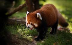 Panda rouge / Red Panda