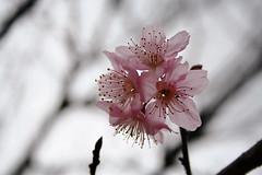 Flower Power (poperotico) Tags: flower dof flor cherryblossom sakura flowerthursday templozulai quintaflor budista cerejeira prunusserrulata clickspzulai
