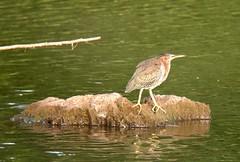Green Heron 11 8-12-07