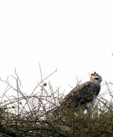 african snake eagle with crest showing