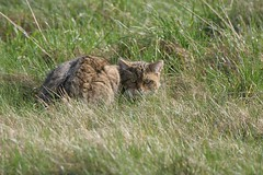 Chat sauvage - Wild cat (Thomas Quintaine) Tags: collier chat antenne mammifre sauvage forestier metteur