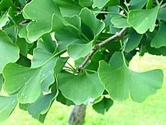 DSC08178-MN-GdW-Ginkgobaum (buskam7) Tags: berlin marzahn ginkgobaum gaertenderwelt
