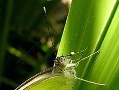 GreatSouthernWhiteXXClose_demo (Prints of the Realm) Tags: wildlife butterflies floraandfauna florafauna