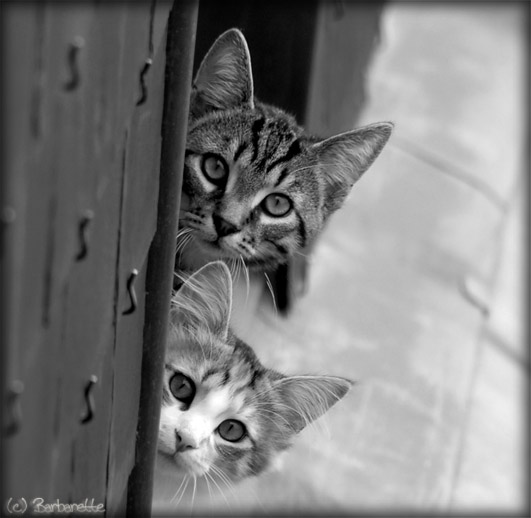 chats-curieux-nb