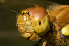 """Common Darter Dragonfly (Sympetrum s(54) • <a style=""""font-size:0.8em;"""" href=""""http://www.flickr.com/photos/57024565@N00/1322797601/"""" target=""""_blank"""">View on Flickr</a>"""