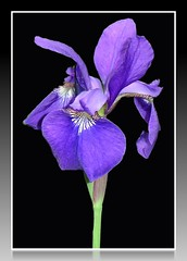 Iris (Laramie_Coyote) Tags: iris flower nature flora purple onblack potofgold flickrsilver flickrbronze citrit naturespotofgold printedalready pogchallengewinners pogden04 goldstarawardlevel1 stunningnatureonblack naturespotofgoldlevel2 potofgoldlevel2 btglevel2 btglevel1 rainbowelite gsalevel2 gsalevel3