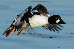 Goldeneye Duck (AMKs_Photos) Tags: bird nature birds animal canon river photography eos scotland duck wildlife aberdeen dee goldeneye amk bucephala clangula 450d amksphotos mygearandmepremium mygearandmebronze mygearandmesilver mygearandmegold mygearandmeplatinum mygearandmediamond