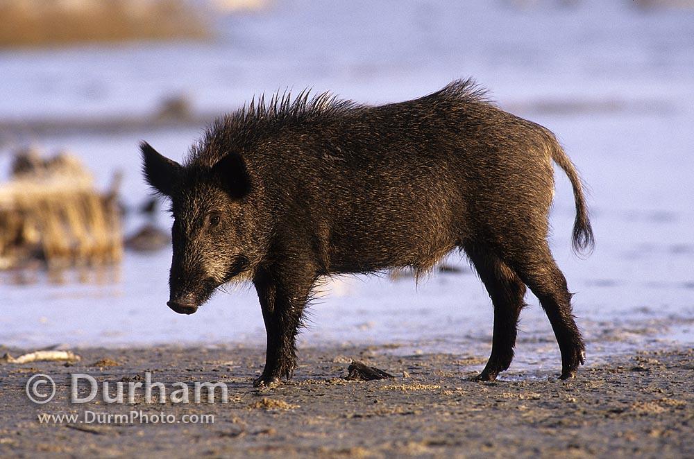 feral pig (Sus scrofa)