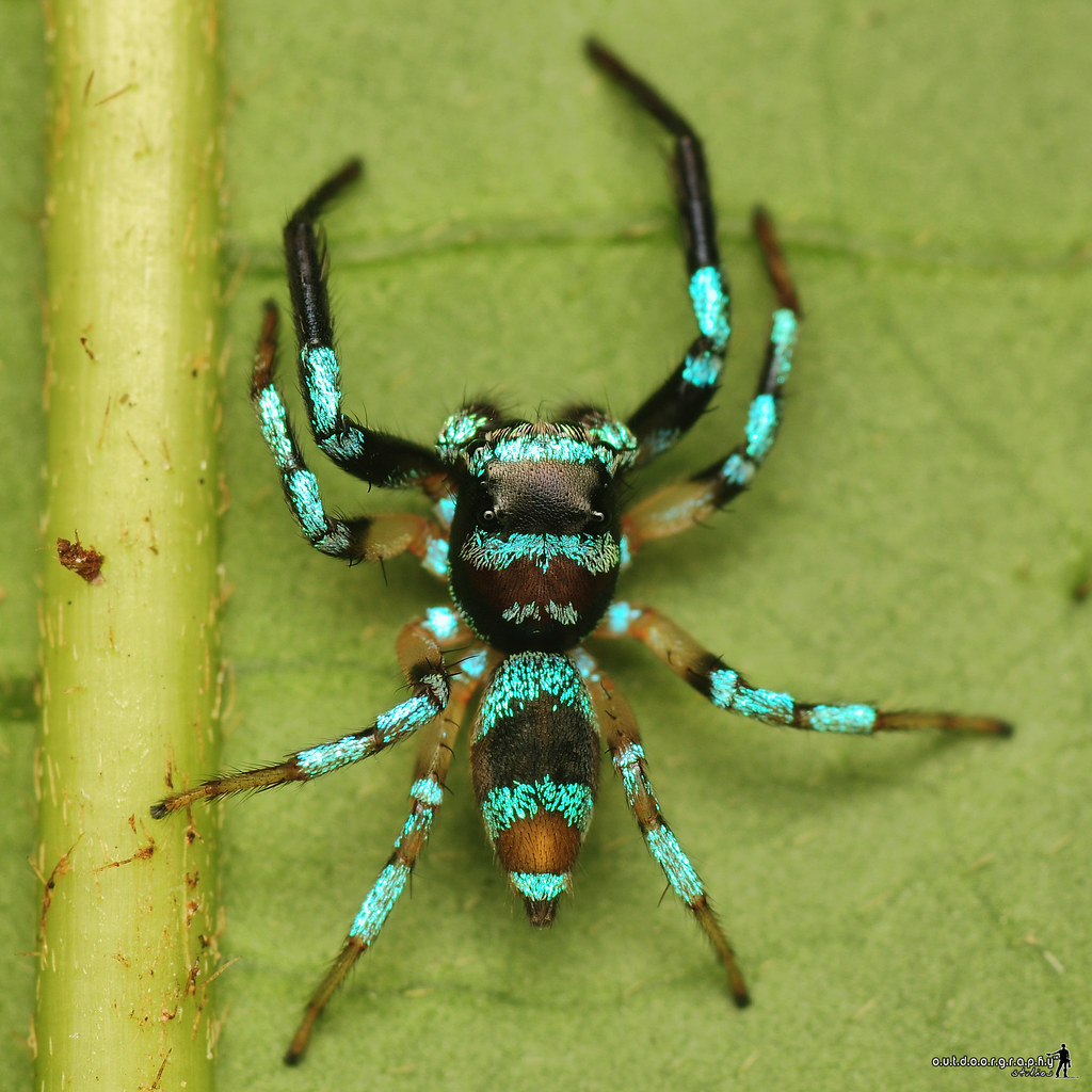 Blue Striped | Jumper | Salticidae (by Sir Mart Outdoorgraphy™)