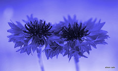 blue inked cornflowers1 (alison ryde - back in town for now) Tags: flowers garden mono spring tint cornflowers
