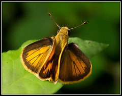 Copaeodes aurantica (MsCopernic) Tags: macro butterfly mariposa soe shieldofexcellence anawesomeshot copaeodesaurantica labramadora