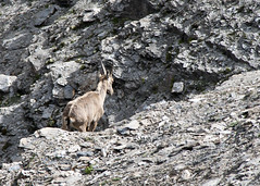 "chamois solo • <a style=""font-size:0.8em;"" href=""http://www.flickr.com/photos/30765416@N06/5187303472/"" target=""_blank"">View on Flickr</a>"