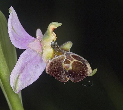 Ophrys scolopax? et errances taxinomiques - Page 2 5188235155_395112f52a