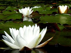 White waterlilies 1, Thetis Lake, July 2007