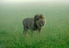 Panthera leo masaiccus - by autan