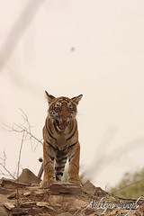 Snarling tiger cub (dickysingh) Tags: wild india nature outdoor wildlife tiger aditya ranthambore singh tigercub bengaltiger ranthambhore dicky tigerreserve ranthambhorebagh adityasingh dickysingh ranthamborebagh theranthambhorebagh