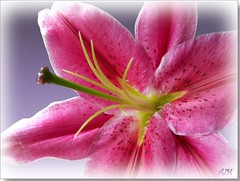 Pink Lily (Marlowpics/ Anna) Tags: pink flower lily excellence aplusphoto superhearts