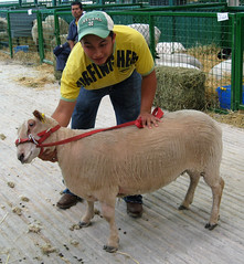 Charollais ewe