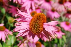 What The... (michl_007) Tags: uk pink england orange flower london kew nikon kitlens richmond surrey worldheritagesite 1855mm royalbotanicgardens afsdxzoomnikkor d40x