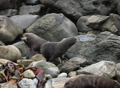 New Zealand South Island . Ohau Point Seal Colony. (1057) (pjwar) Tags: newzealand southisland pjwar
