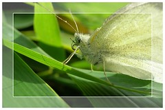 butterfly on bamboo (19erika55) Tags: white macro green butterfly garden insect flying fdsflickrtoys bamboo abigfave superbmasterpiece macrophotonolimits macromix