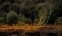 Lenzie Moss (-: Al Bell :-) Tags: trees landscape scotland birch aplusphoto